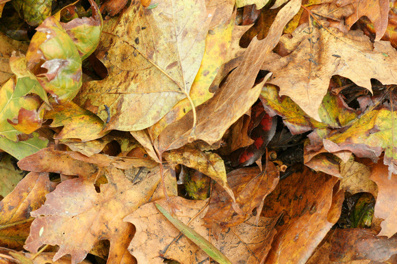 Mostly Sycamore Leaves